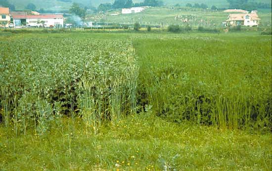 Ma z forrajero ecol gico producir sin herbicidas es Rotaciones de cultivos ecologicos