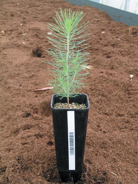 Produccion planta forestal raiz desnuda photo 13