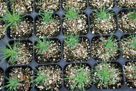 Produccion planta forestal raiz desnuda photo 94