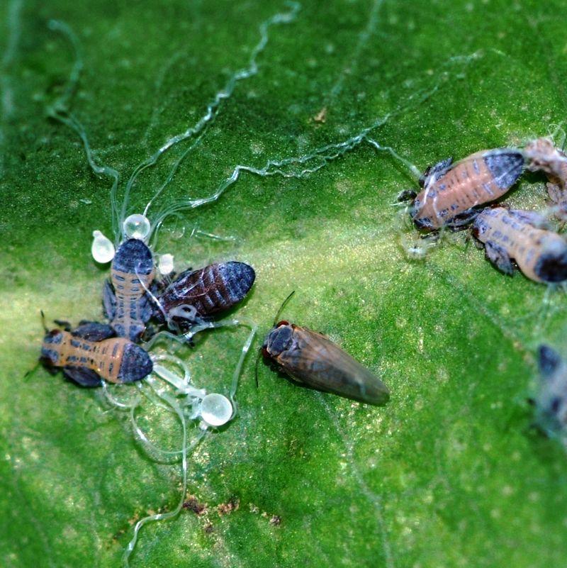 Presencia de dos plagas del eucalipto sobre el manzano - Informacion sobre el eucalipto ...