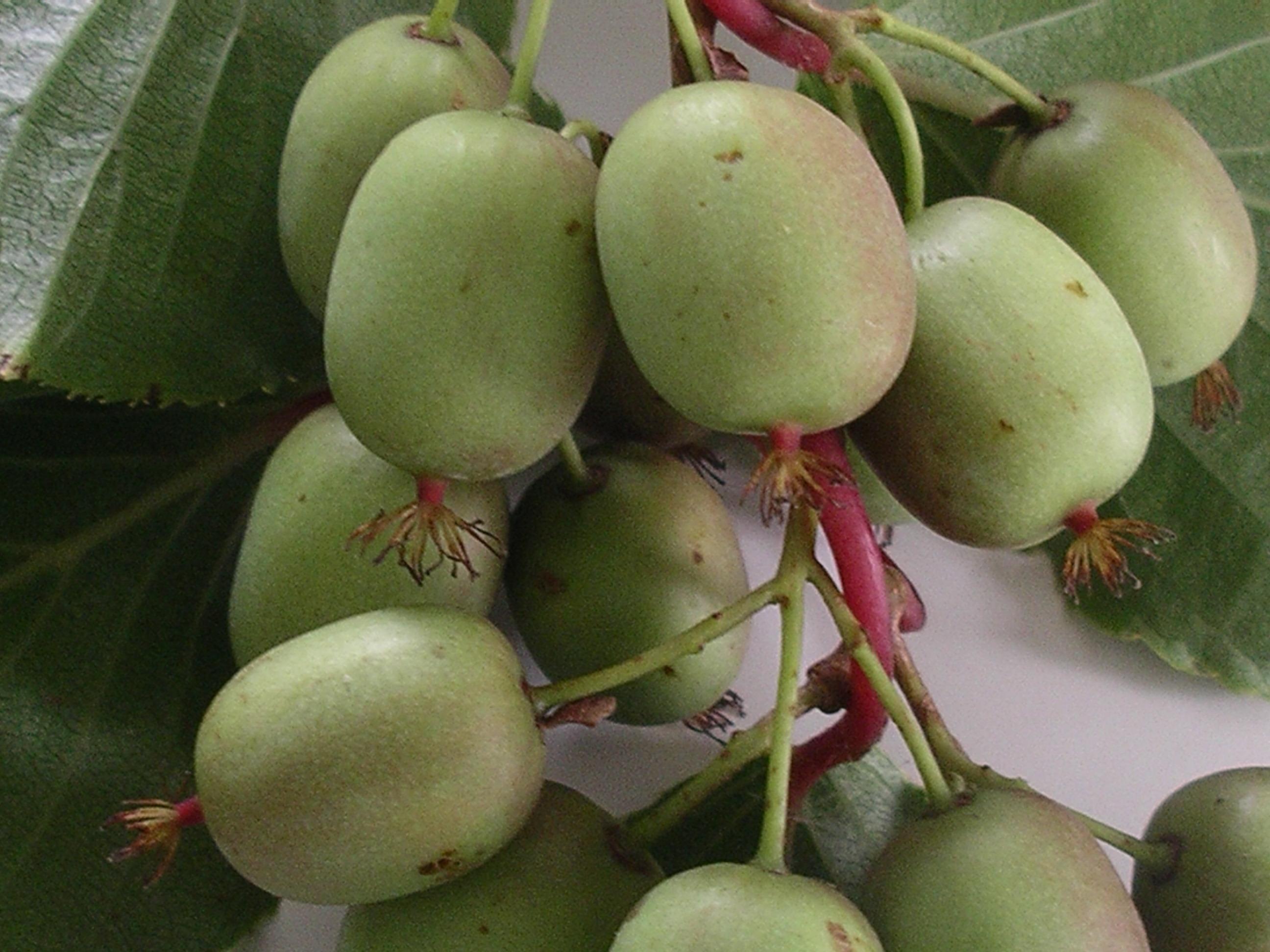 Recogida kiwi asturias