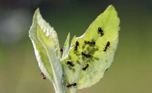 Las hormigas, ¿favorecen o perjudican al agricultor?. Servicio ...