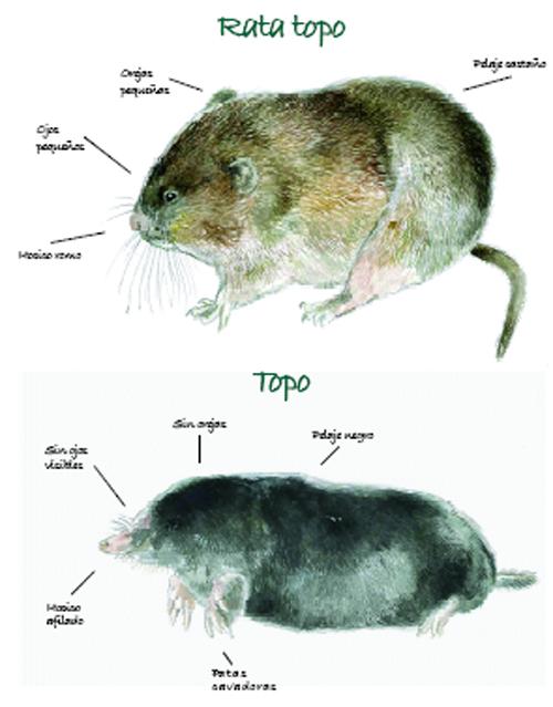 Rata Topo