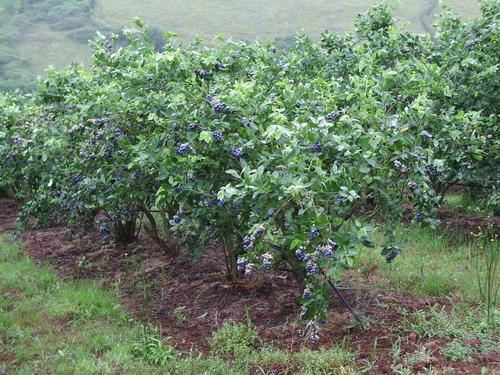 el cultivo del arándano en asturias. servicio regional de