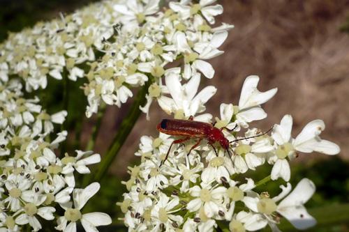 Fotografía 12. Las flores atraen depredadores de pulgones como los san juaninos. © Marcos Miñarro