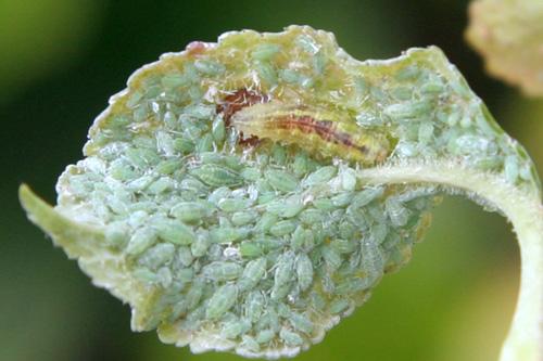 Fotografía 6. Larva de sírfido en una colonia de pulgón en ciruelo. © Marcos Miñarro