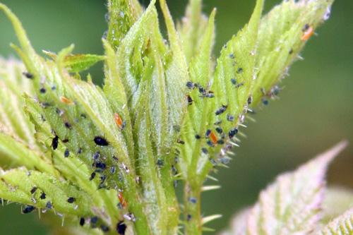 Fotografía 7. De color naranja, larvas de cecidómido comiendo pulgones. © Marcos Miñarro