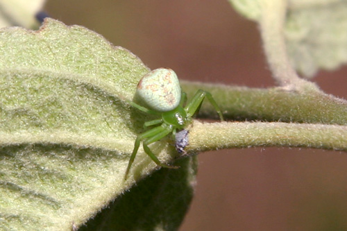 Fotografía 8. Araña comiendo un pulgón. © Marcos Miñarro